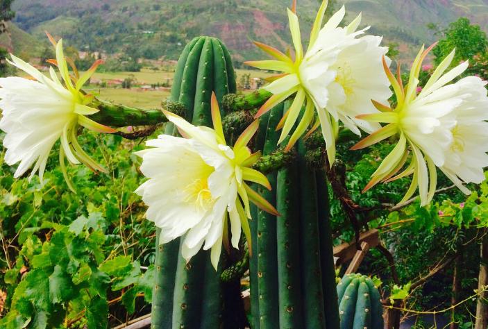 Che cos'è veramente il San Pedro / Wachuma, Il Sacro Cactus degli Inka ?